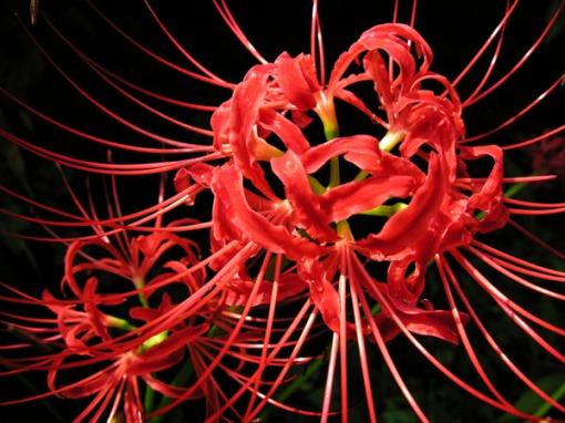 lycoris (cluster amaryllis / manjushage)
